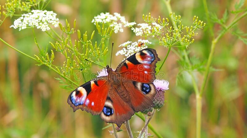 Butterfly, Insect, Moths And Butterflies, Brush Footed Butterfly royalty free stock photos