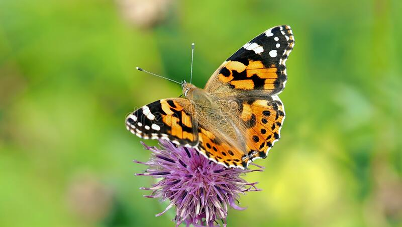 Butterfly, Insect, Moths And Butterflies, Brush Footed Butterfly royalty free stock photography