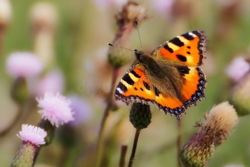 Butterfly, Insect, Moths And Butterflies, Brush Footed Butterfly stock photography