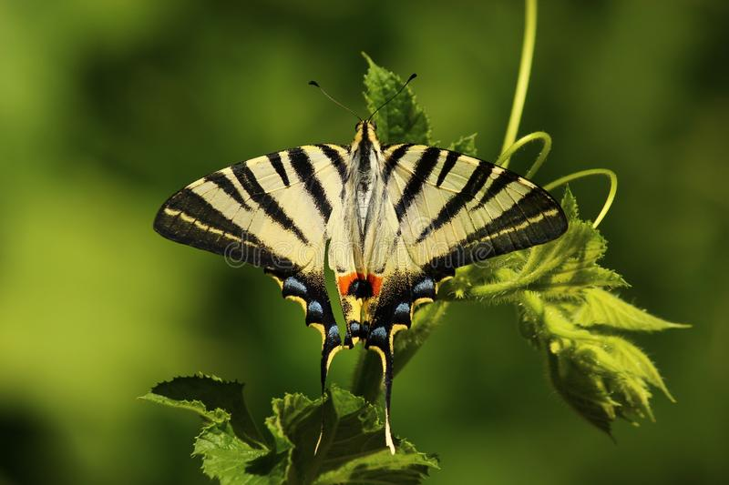 Butterfly, Insect, Moths And Butterflies, Lycaenid stock image