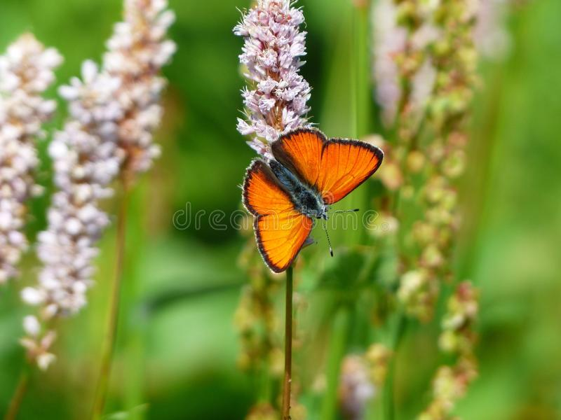 Butterfly, Insect, Moths And Butterflies, Lycaenid royalty free stock image
