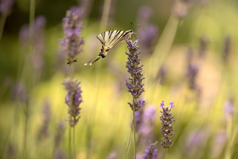 Butterfly Iphiclides Podalirius on a lavender flower gathers nectar on a sunny summer day, spreading its wings. Beautiful butterfly Iphiclides Podalirius  on a royalty free stock image