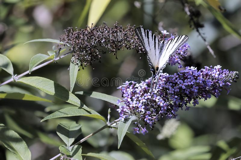 Butterfly Iphiclides podalirius sucking the nectar of the flowers of a Buddleia Buddleja alternifolia. A butterfly Iphiclides podalirius sucking the nectar of royalty free stock images