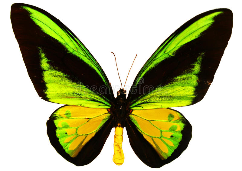 Butterfly Isolated royalty free stock photography