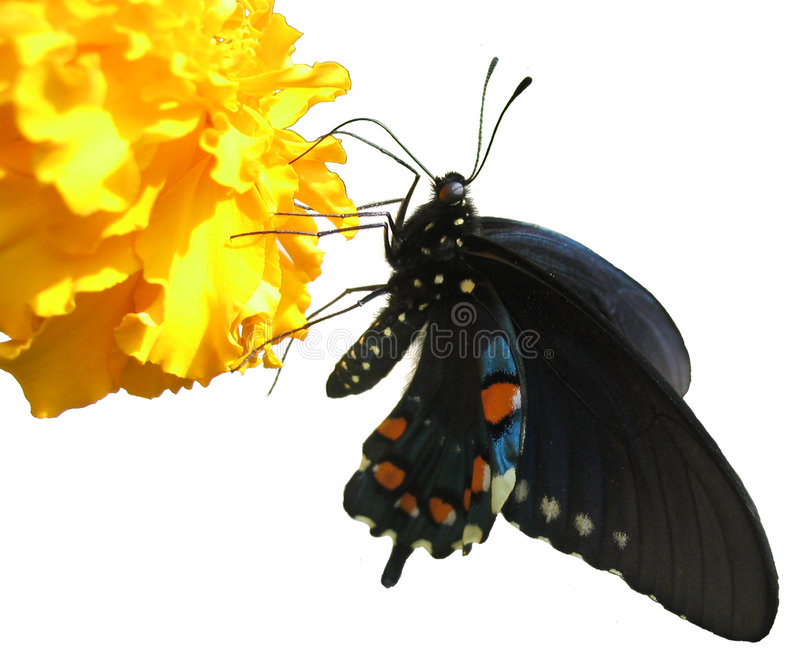 Butterfly isolated. Pipevine Swallowtail (Battus philenor) on a marigold stock image
