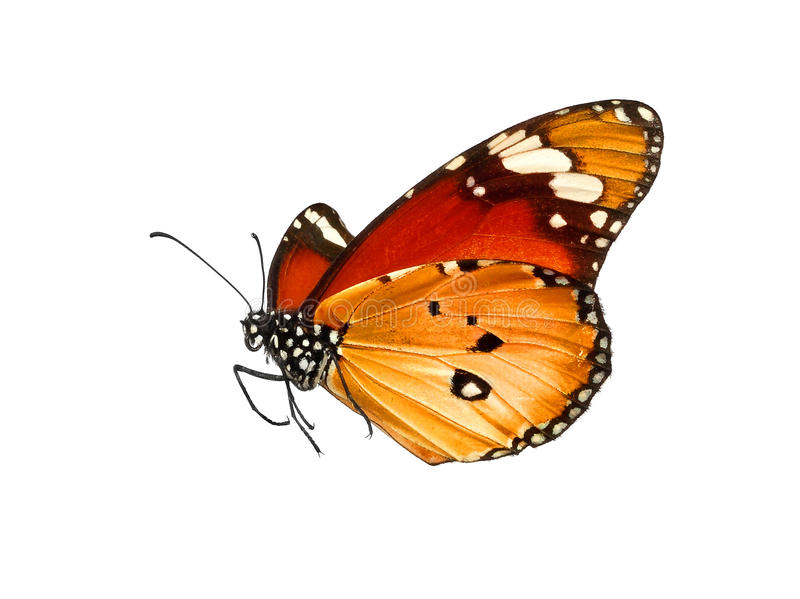 Butterfly isolated on white royalty free stock photos