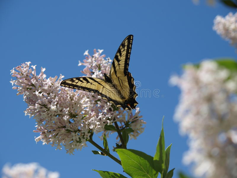 Butterfly on Korean Lilac royalty free stock photography
