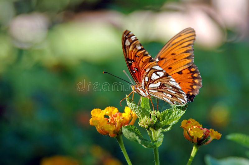 Butterfly on a Lantana Plant royalty free stock photo