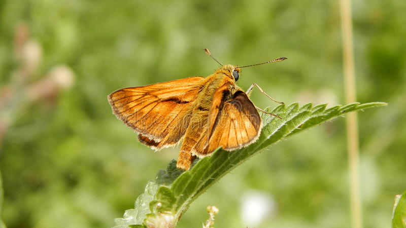 Butterfly - Large skipper. This is a butterfly from the Czech Republic. It also occurs in Europe and Asia. Caterpillars are not finicky and consume diverse high royalty free stock photos