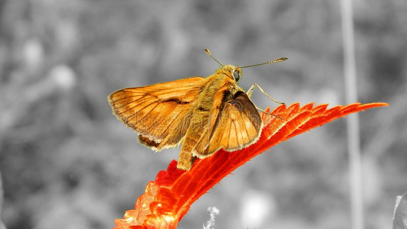 Butterfly - Large skipper. This is a butterfly from the Czech Republic. It also occurs in Europe and Asia. Caterpillars are not finicky and consume diverse high stock photos