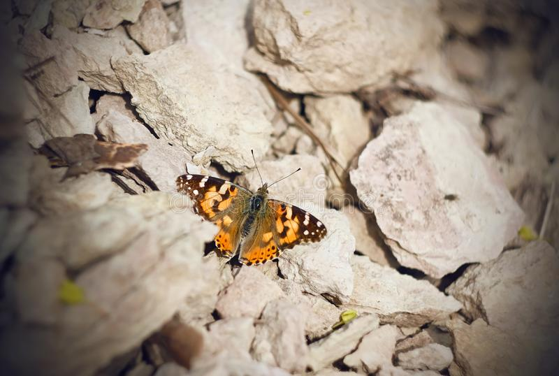 Butterfly large tortoiseshell sitting on the warm rocks royalty free stock photo