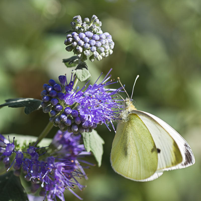 Butterfly Large white on Caryopteris or Bluebeard stock photo