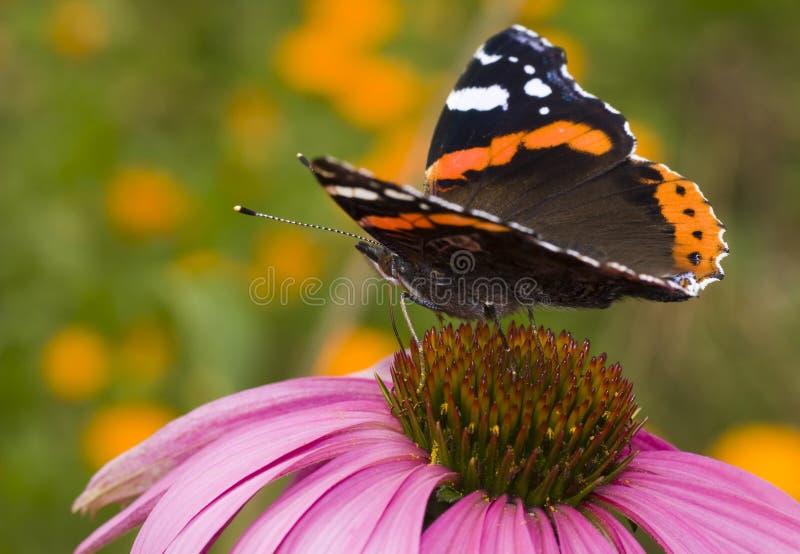 Butterfly ( Latin-Vanessa atalanta ). Butterfly ( Vanessa atalanta ) feeding on flower ( Echinacea purpurea stock photos