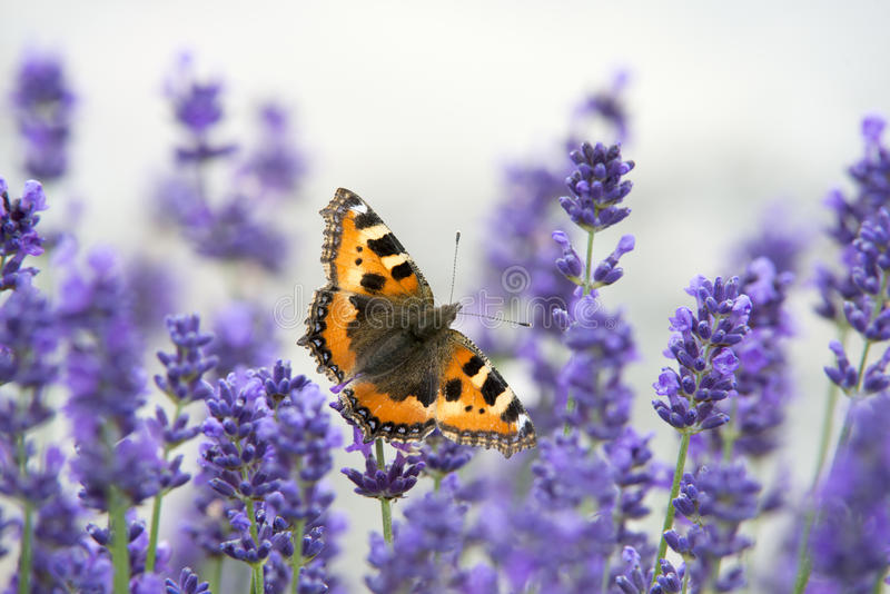 Butterfly on lavender stock photo