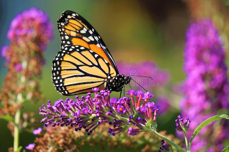 Butterfly in Lavender bush. Monarch butterfly lands on tubular cone of Butterfly Bush blossoms. The contrast of the pale and dark sections of the yelllow and stock image