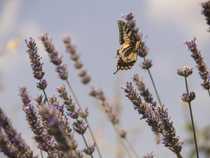 Butterfly and lavender flower stock photography