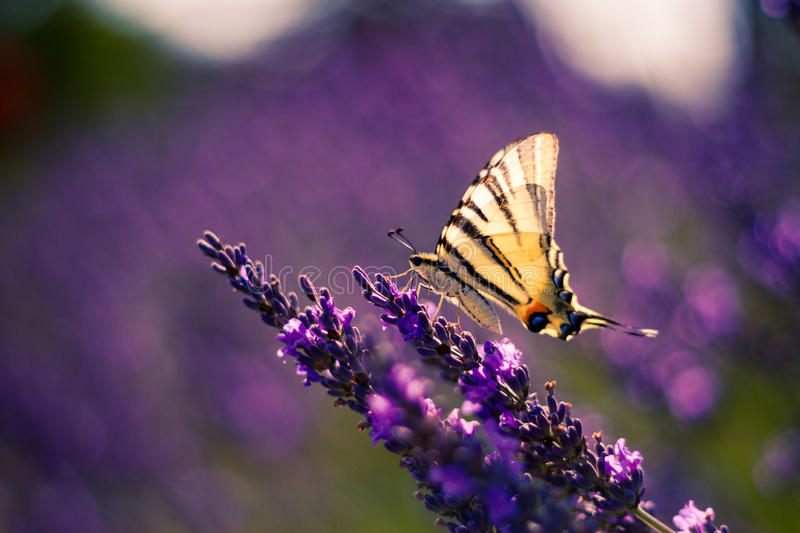 Butterfly on the Lavender in Garden. Lavender. Lavender field at Sunset. Close up image. Soft Focus. Summer concept royalty free stock image