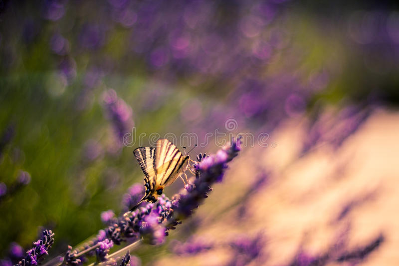 Butterfly on the Lavender in Garden. Lavender. Lavender field at Sunset. Close up image. Soft Focus. Summer concept royalty free stock photography