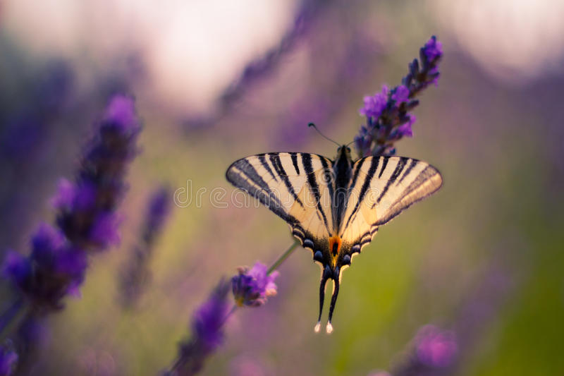 Butterfly on the Lavender in Garden. Lavender. Lavender field at Sunset. Close up image. Soft Focus. Summer concept royalty free stock photo