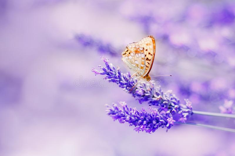 Butterfly in lavender shining sunlight on nature purple tones, macro. Fabulous magical artistic image of dream, copy stock photo