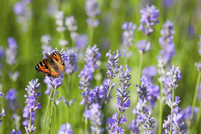 Download Butterfly on Lavender stock image. Image of urticae, aglais - 32269649