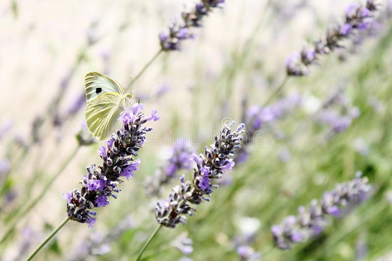 Butterfly on the lavender stock image