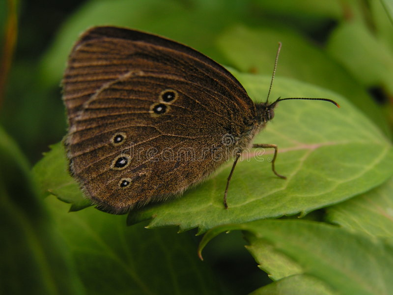 Download Butterfly on leaf stock image. Image of beautiful, brown - 258443