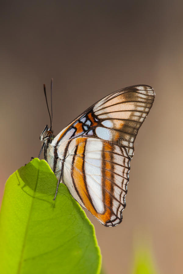 Butterfly on leaf. With brown background stock photos