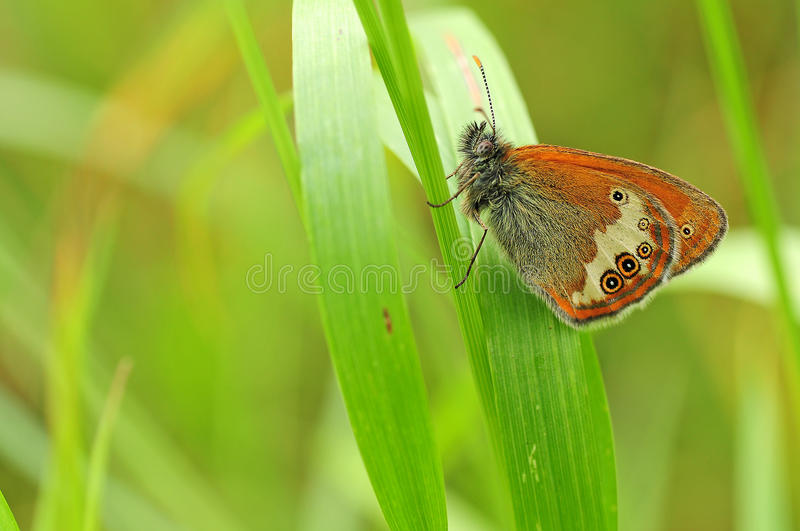 Butterfly on a leaf close-up royalty free stock photography