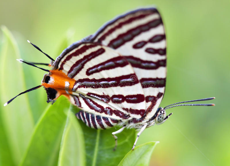Butterfly On A Leaves Royalty Free Stock Image