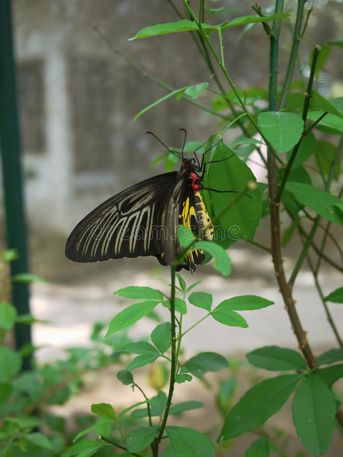 Butterfly on the leaves. The Golden Birdwing. royalty free stock photos