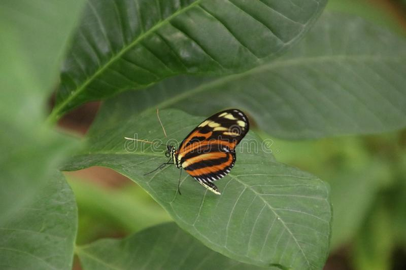 butterfly on leaves in the Rotterdam Blijdorp Zoo in the Netherlands. stock image