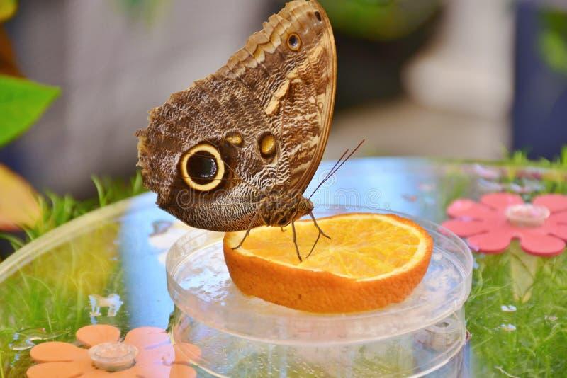 Butterfly on lemon stock image