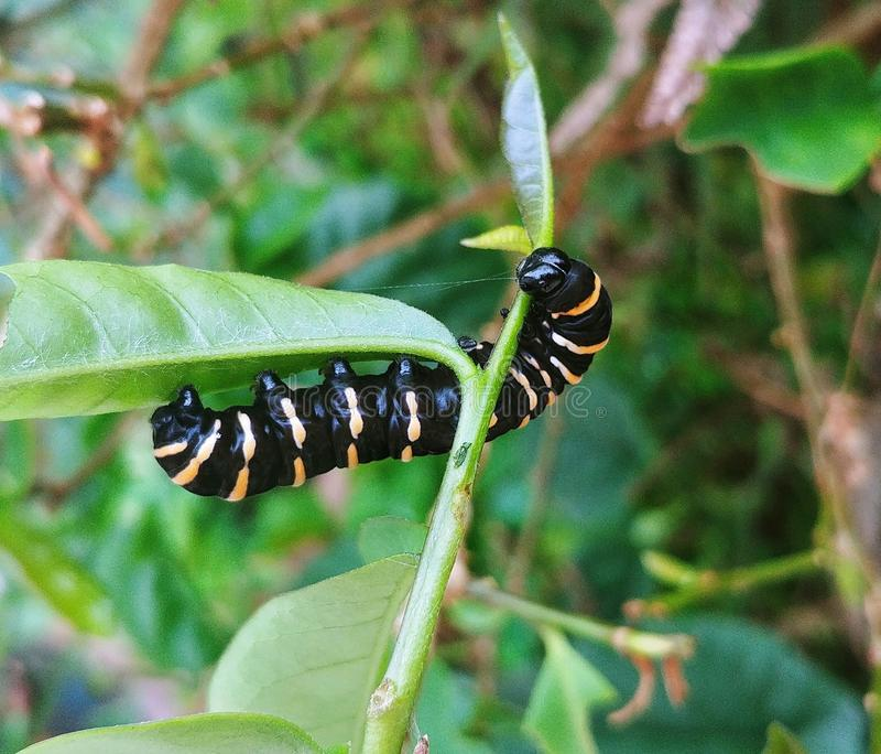 Butterfly life, caterpillar stage stock photography