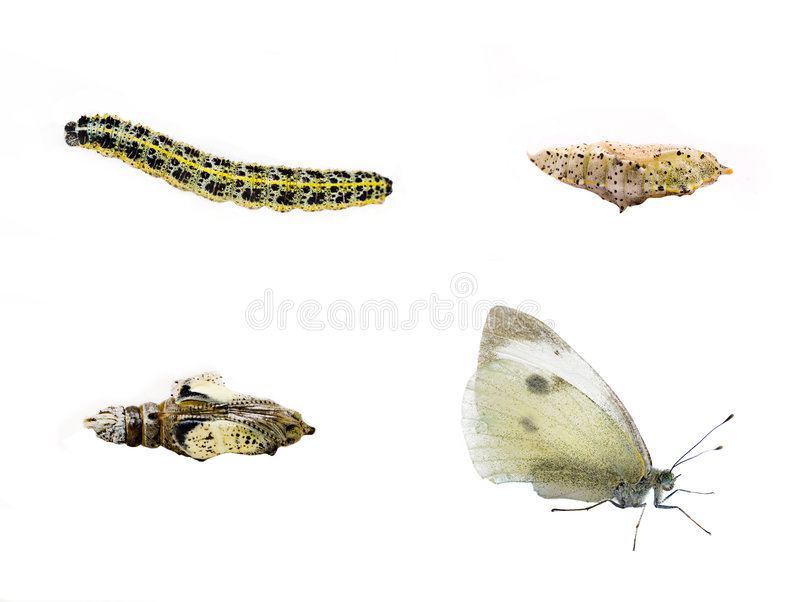 Butterfly Lifecycle Royalty Free Stock Photo