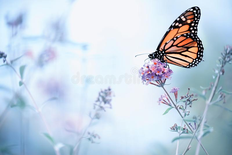Butterfly on a lilac flower. The most famous butterfly of North America is the monarch`s daaid. Gentle artistic photo. Selective s. Oft focus stock photos