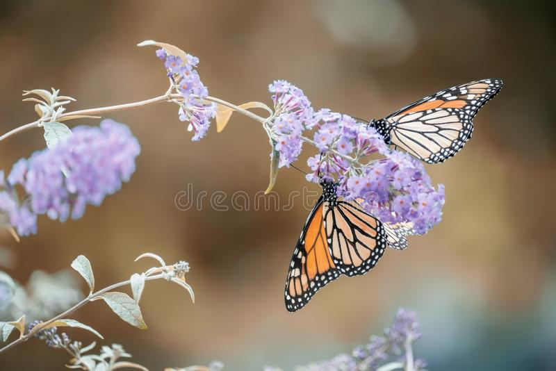 Butterfly on a lilac flower. The most famous butterfly of North America is the monarch`s daaid. Gentle artistic photo. royalty free stock images