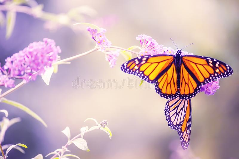 Butterfly on a lilac flower. The most famous butterfly of North America is the monarch`s daaid. Gentle artistic photo. royalty free stock photos