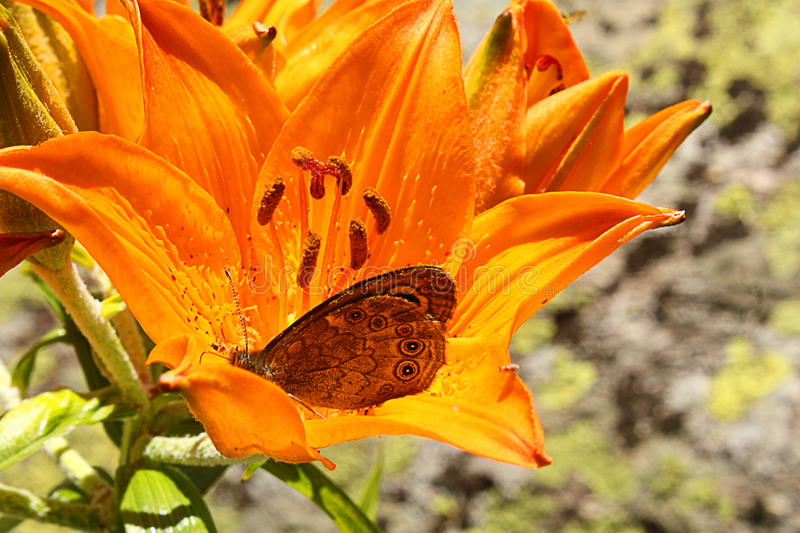 Butterfly on a lily flower stock photography