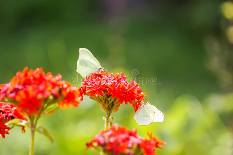 Butterfly Limonite, common brimstone, Gonepteryx rhamni on the Lychnis chalcedonica blooming plant outdoors. In summer day royalty free stock photography