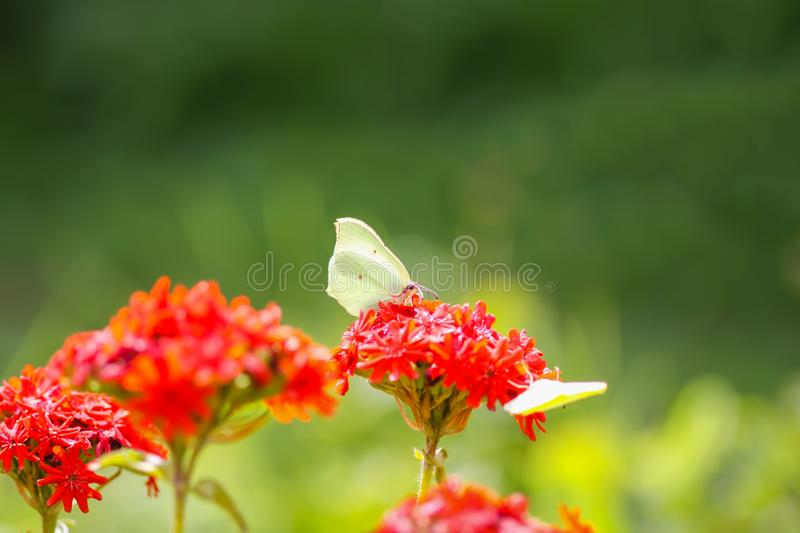 Butterfly Limonite, common brimstone, Gonepteryx rhamni on the Lychnis chalcedonica blooming plant outdoors. In summer day stock photos