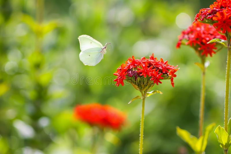 Butterfly Limonite, common brimstone, Gonepteryx rhamni on the Lychnis chalcedonica blooming plant outdoors. In summer day royalty free stock image