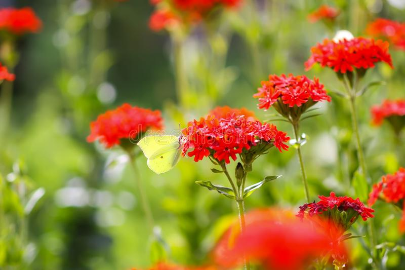 Butterfly Limonite, common brimstone, Gonepteryx rhamni on the Lychnis chalcedonica blooming plant outdoors. In summer day royalty free stock photos