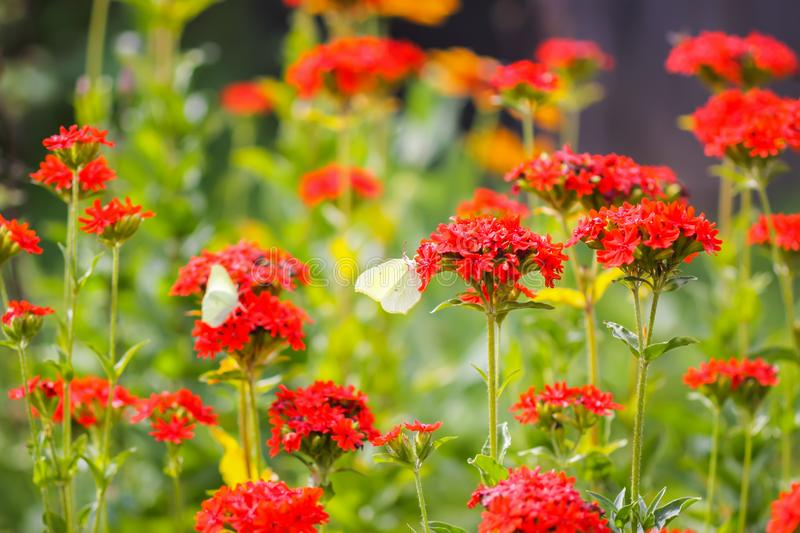 Butterfly Limonite, common brimstone, Gonepteryx rhamni on the Lychnis chalcedonica blooming plant outdoors. In summer day stock photography