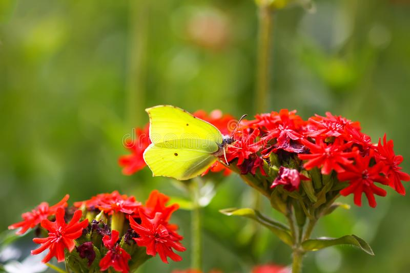 Butterfly Limonite, common brimstone, Gonepteryx rhamni on the Lychnis chalcedonica blooming plant outdoors. In summer day royalty free stock images