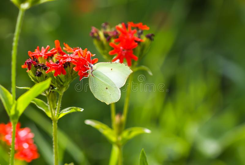 Butterfly Limonite, common brimstone, Gonepteryx rhamni on the Lychnis chalcedonica blooming plant outdoors. In summer day stock images