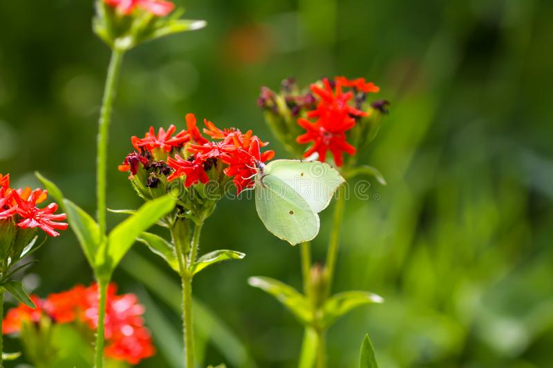 Butterfly Limonite, common brimstone, Gonepteryx rhamni on the Lychnis chalcedonica blooming plant outdoors. In summer day royalty free stock photo