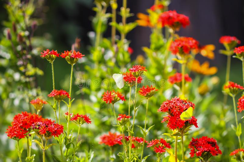 Butterfly Limonite, common brimstone, Gonepteryx rhamni on the Lychnis chalcedonica blooming plant outdoors. In summer day stock photo