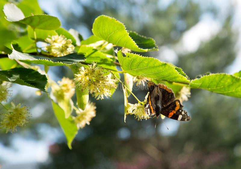 Butterfly on linden flowers close up summer. Day royalty free stock photography