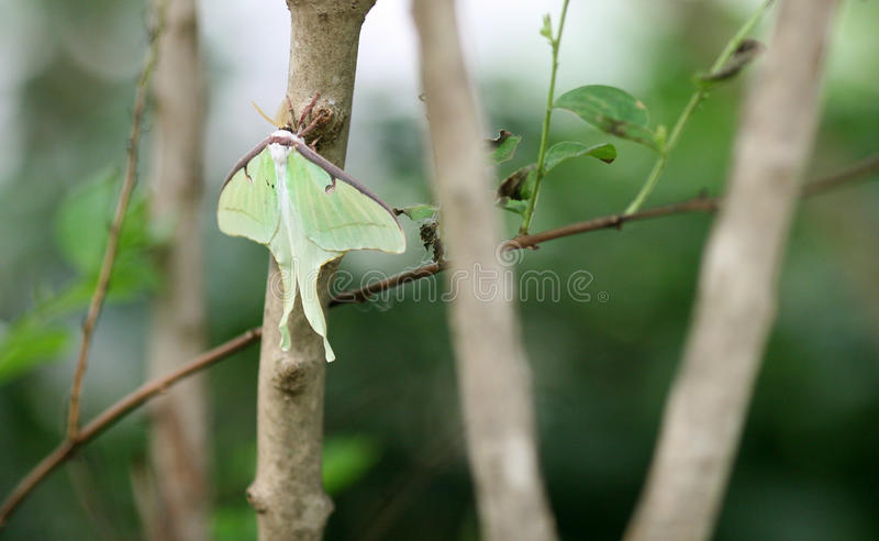Butterfly Luna Moth. In the garden stock photos